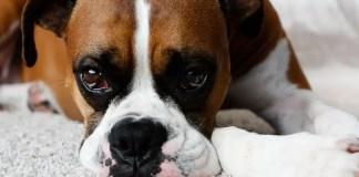 boxer dog eye problems