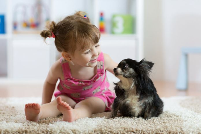 Child girl plays with little dog black hairy chihuahua doggy