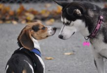 do beagles get along with other dogs