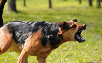 what to do if an aggressive dog approaches you