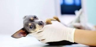 when do you x-ray a pregnant dog