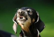 why do dachshunds bark so much