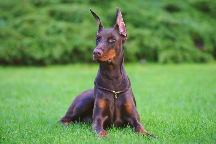 how to crop doberman ears at home