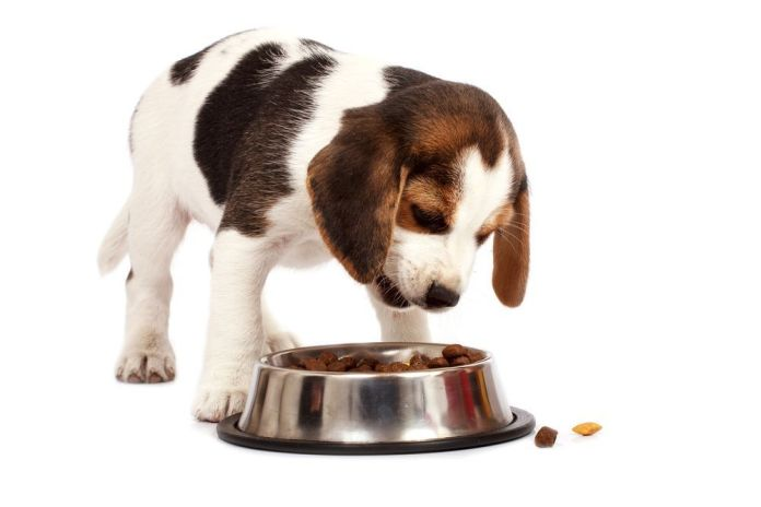 Beagle puppy dog that eating
