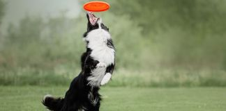 mental exercises for border collies