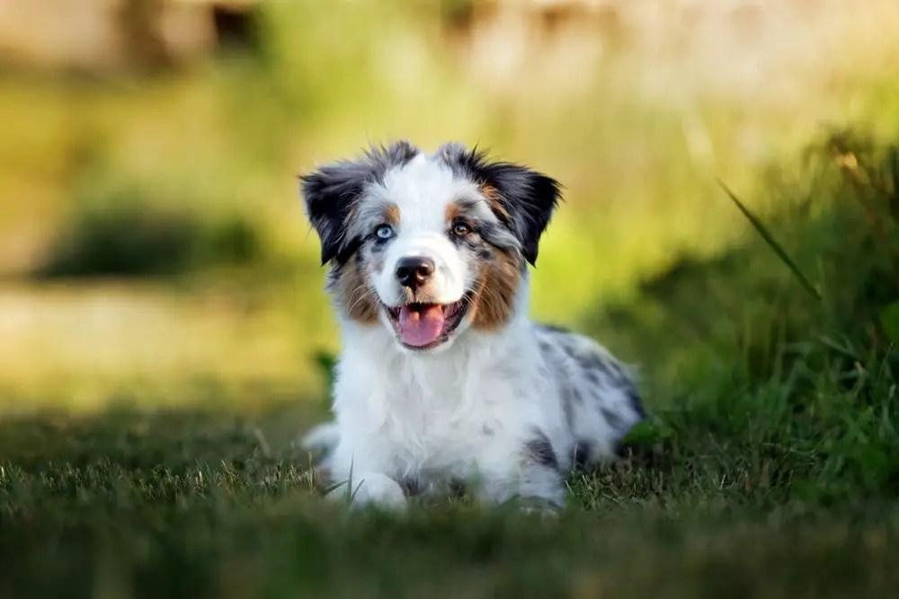 Are Mini Australian Shepherds Hypoallergenic Straight Facts