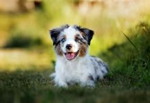 Are Mini Australian Shepherds Hypoallergenic