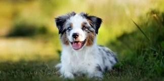 Are Mini Australian Shepherds Hypoallergenic