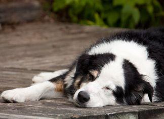 Australian Shepherd Sleeping Habits