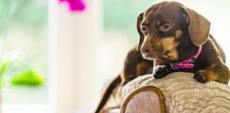 dachshund common health problems