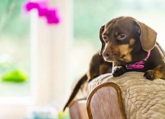dachshund common health problems