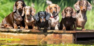Difference Between Dachshund and Mini Dachshund