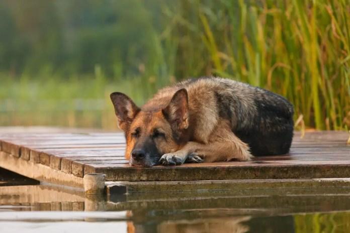 German Shepherd Sleeping Habits