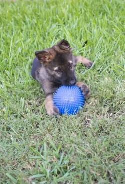 german shepherd two months old puppy