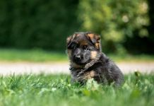 when to start training german shepherd puppy