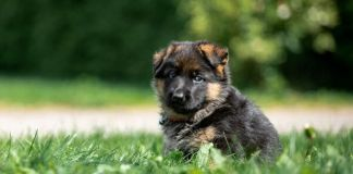when to start training german shepherd puppy