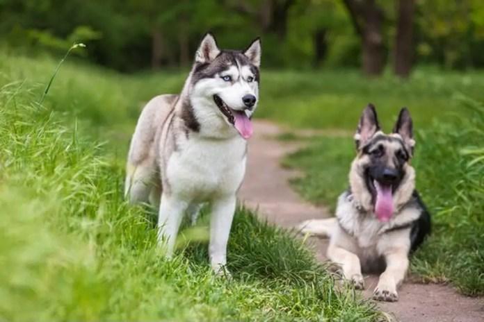 do huskies shed more than german shepherds