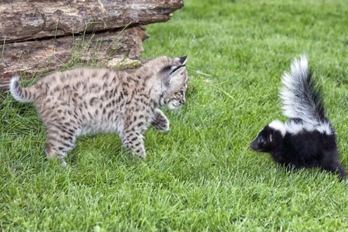 How to Treat a Cat That Has Been Sprayed by a Skunk
