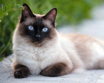 Сиамская кошка: описание, характер породы, цена котят ...
