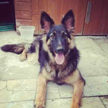 1 Year Old German Shepherd For Sale