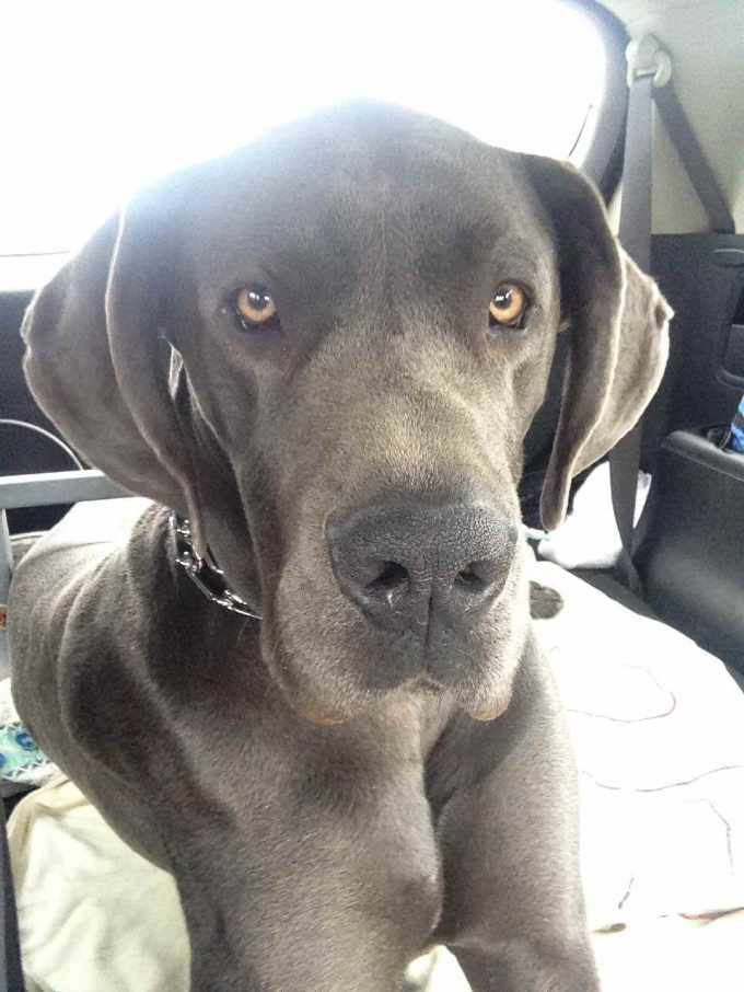 1 Year Old Great Dane For Sale