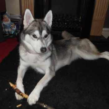 1 Year Old Husky For Sale