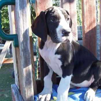 100 Euro Great Dane Puppies For Sale