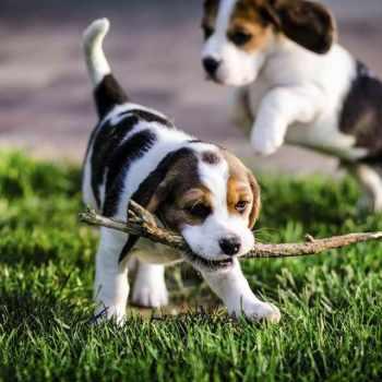 13 Inch Beagle Puppies