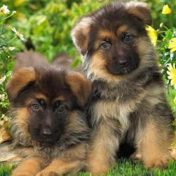 2 German Shepherd Puppies
