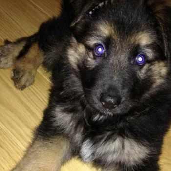 6 Week German Shepherd Puppy