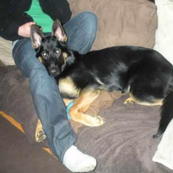 7 Month Old German Shepherd Behavior
