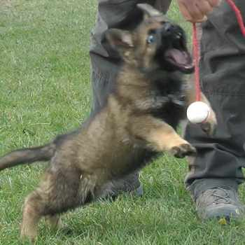 8 Weeks German Shepherd Puppies