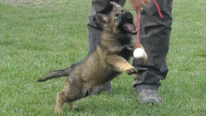8 Weeks German Shepherd Puppies