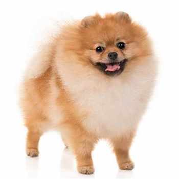 A Picture Of A Pomeranian