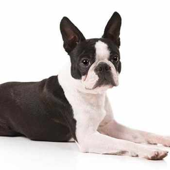 About Boston Terrier