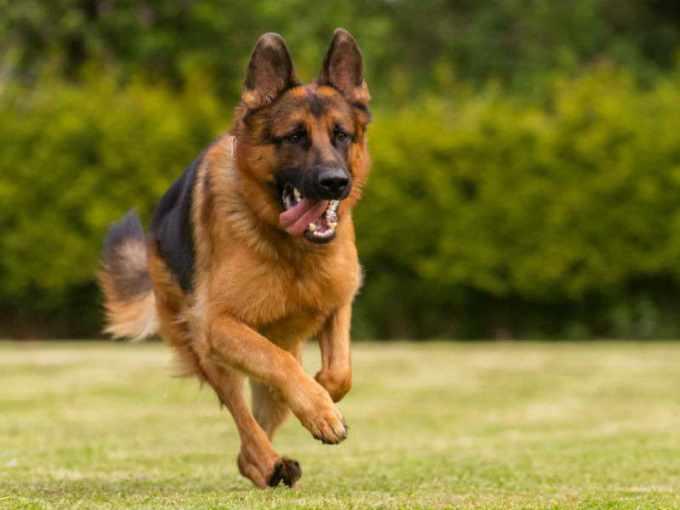 About German Shepherd Dog