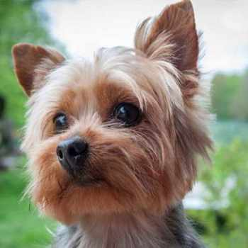 About Yorkie Terrier