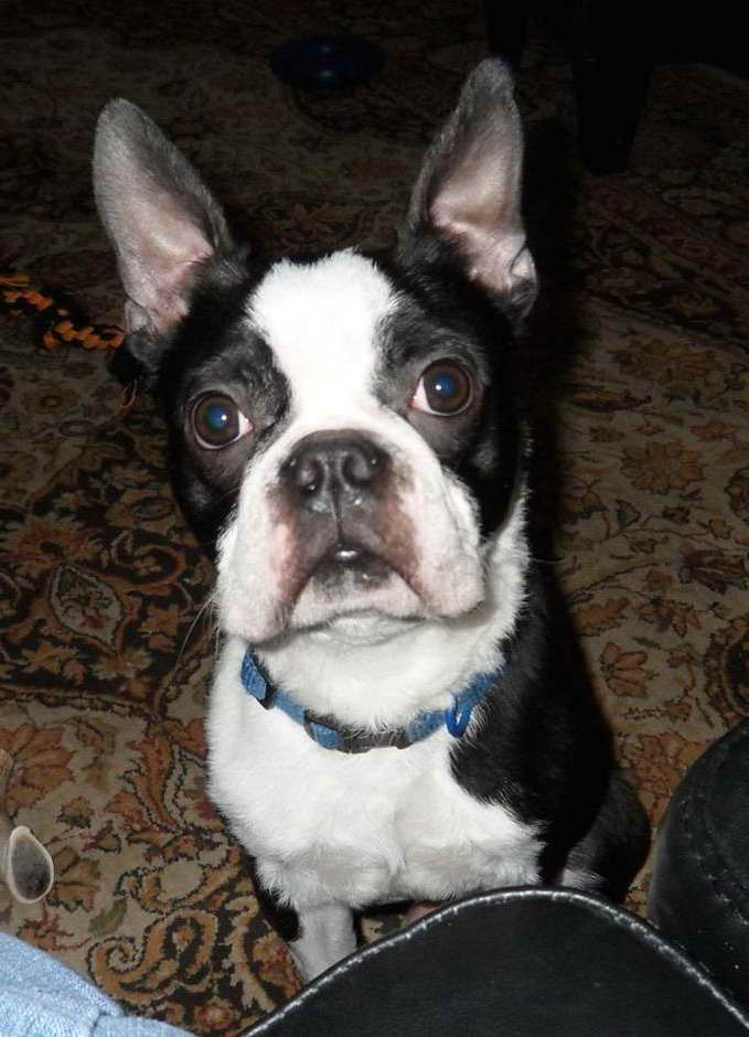 Adopt A Boston Terrier