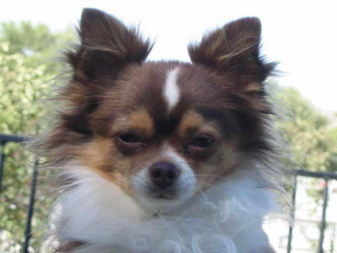 Adopt A Chihuahua