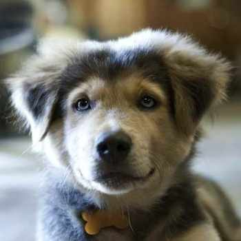 Adopt A German Shepherd Husky Mix