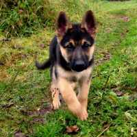 Adopt A German Shepherd Near Me
