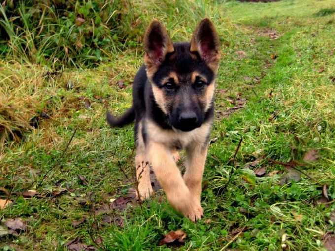Adopt A German Shepherd Near Me