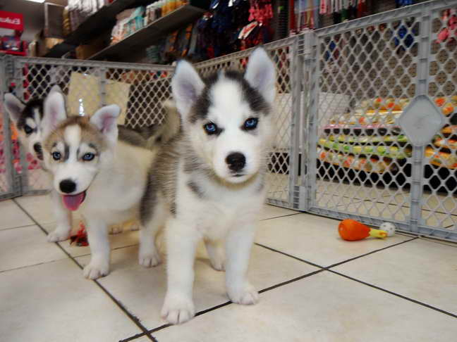 Adopt A Husky Near Me