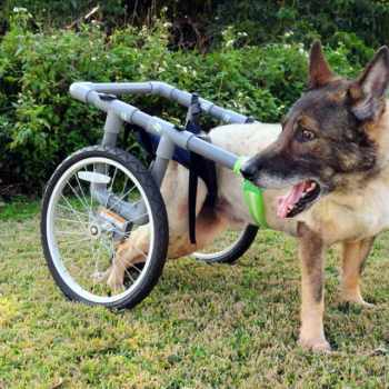 Adopt A Retired Military German Shepherd