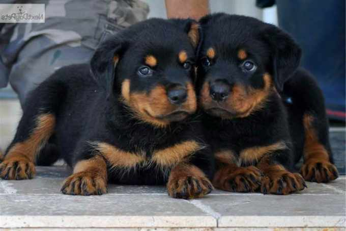 Adopt A Rottweiler Puppy For Free