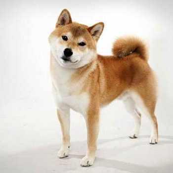 Adopt A Shiba Inu Nyc