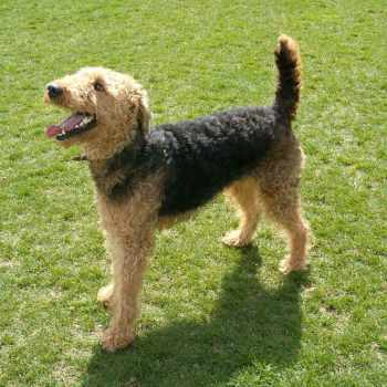 Adopt Airedale Terrier