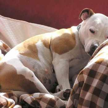 Adopt Staffordshire Bull Terrier