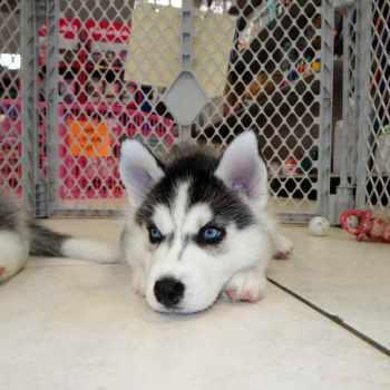 Adoptable Husky Puppies