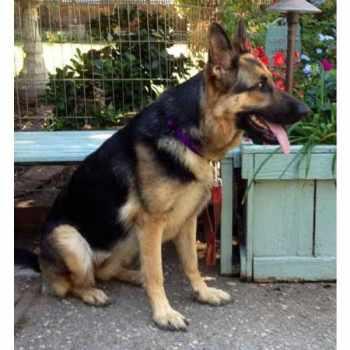 Adopting A German Shepherd Dog